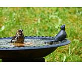 Bathing, House sparrow