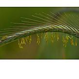 Grain, Rye